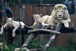 Белые львы в Тбилисском зоопарке. Архивное фото