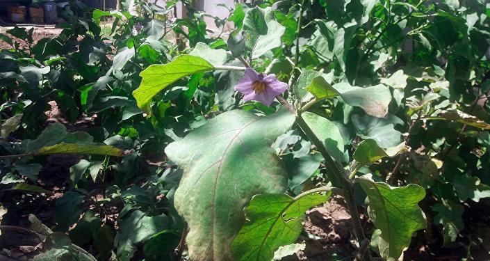 Qazax rayon sakini Alim Əzizovun əkdiyi badımcan bitkisi pomidor formasında bar verib