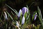 Цветы крокуса, фото из архива