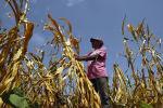 Фермер, потерявший урожай из-за засухи, на поле в городе Усулутан, Сальвадор