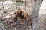 Медведь в клетке, фото из архива