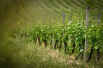 Виноградники в Исмаиллинском районе, фото из архива