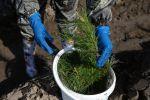 Волонтер сажает саженец дерева, фото из архива