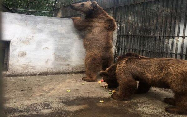 Медведи, изъятые в центра отдыха Yaşıl Göl - Sputnik Азербайджан