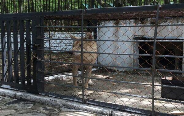 Волк, изъятый в центра отдыха Yaşıl Göl - Sputnik Азербайджан