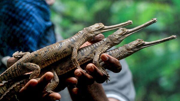 Мужчина с маленькими крокодилами, фото из архива - Sputnik Азербайджан
