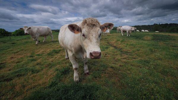 Коровы, фото из архива - Sputnik Азербайджан