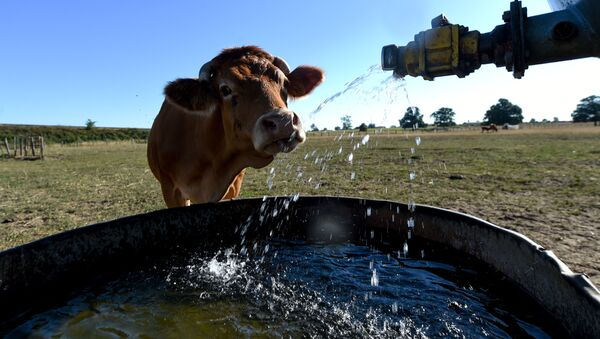 Корова пьет воду, фото из архива - Sputnik Азербайджан