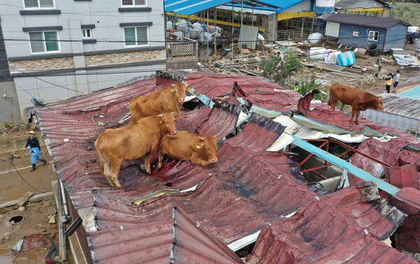 Коровы, застрявшие на крыше из-за наводнения в Южной Корее - Sputnik Азербайджан