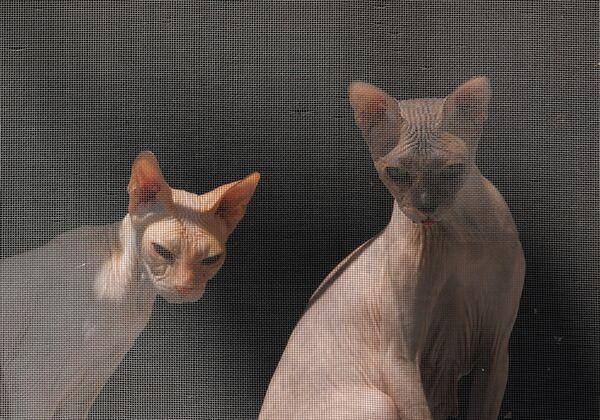 Две кошки породы сфинкс у окна - Sputnik Азербайджан