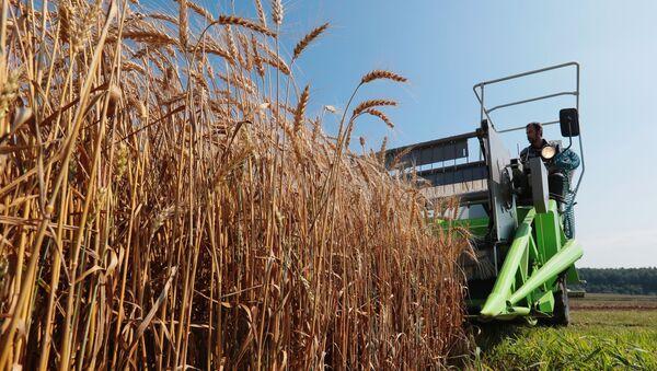На полях пшеницы, фото из архива - Sputnik Азербайджан