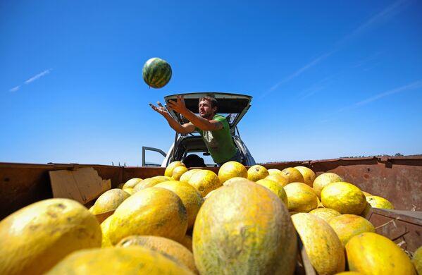 Сбор урожая арбузов и дынь в крестьянско-фермерском хозяйстве в Краснодарском крае - Sputnik Азербайджан