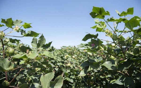 В Азербайджане кукурузные поля обработали пестицидами при помощи дронов - Sputnik Азербайджан