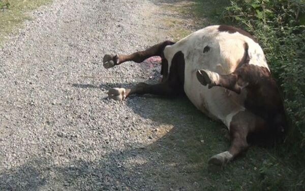 В Загатале неизвестные расстреляли коров - Sputnik Азербайджан