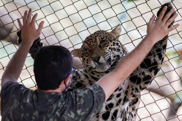 Ягуар и его опекун в центре NGO Nex Institute в Бразилии - Sputnik Азербайджан