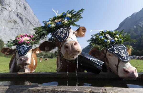 Коровы с венками из цветов перед ежегодным церемониальным «загоном скота» (Almabtrieb) в Австрии  - Sputnik Азербайджан