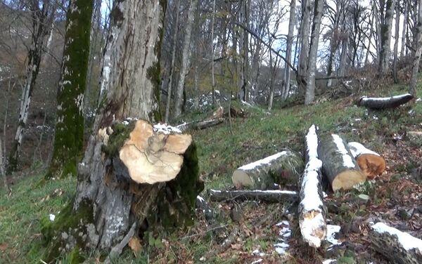 Вырубленные деревья в Огузском районе  - Sputnik Азербайджан