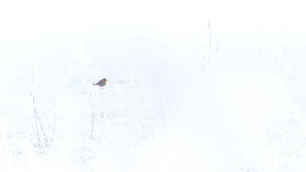 Снимок Зарянка на снегу венгерского фотографа Тамас Конч-Бистрич, победивший в категории Природа глазами молодежи конкурса Золотая Черепаха-2020 - Sputnik Азербайджан