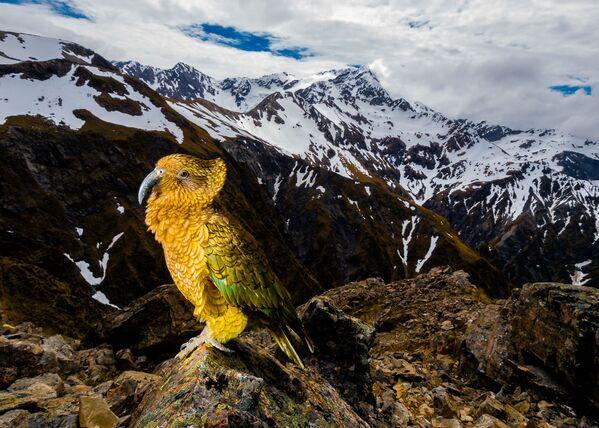 Снимок Кеа польского фотографа Марчин Добас, победивший в категории Животные в среде обитания конкурса Золотая Черепаха-2020 - Sputnik Азербайджан