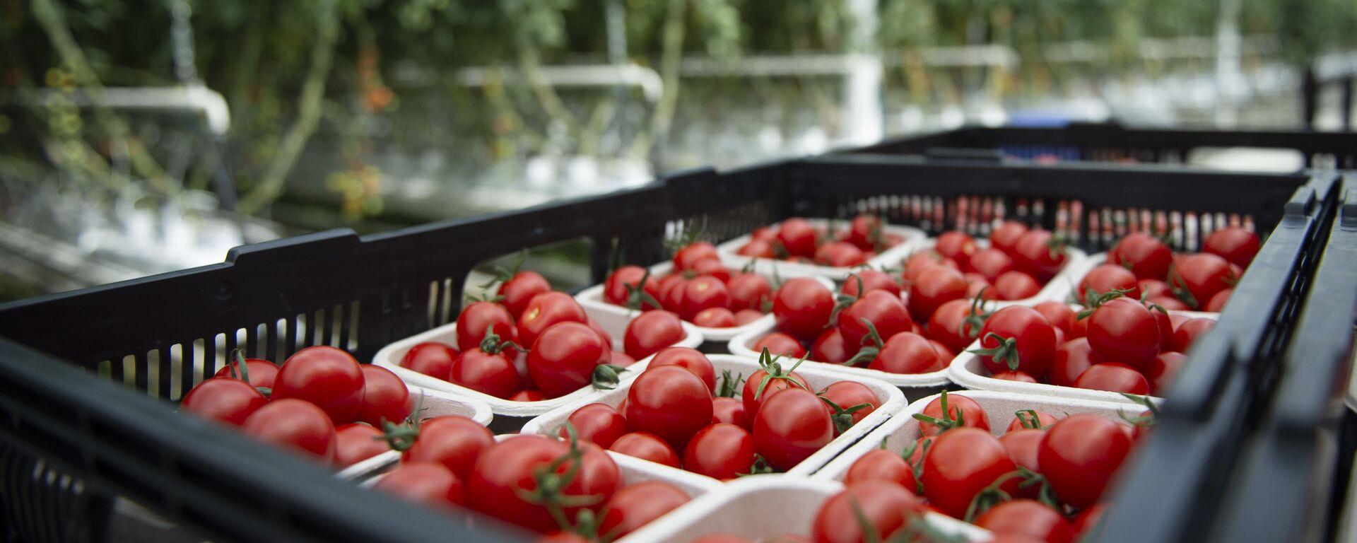 Урожай томатов, фото из архива - Sputnik Азербайджан, 1920, 27.05.2021