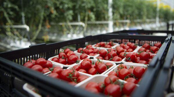 Урожай томатов, фото из архива - Sputnik Азербайджан