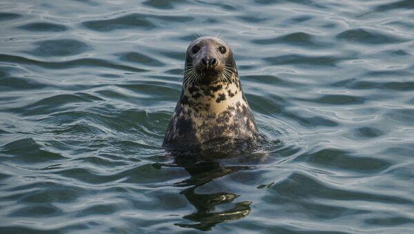 Тюлень, фото из архива - Sputnik Azərbaycan