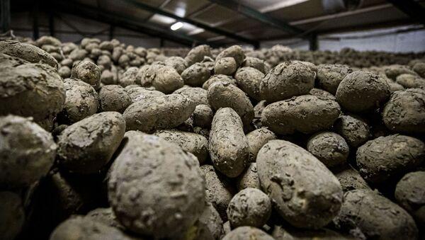 Урожай картофеля, фото из архива - Sputnik Azərbaycan