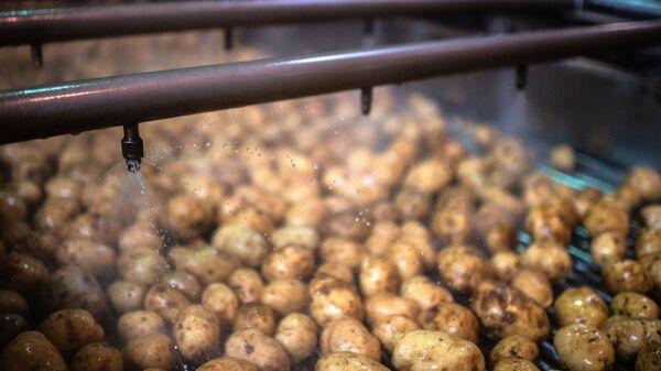 Урожай картофеля, фото из архива - Sputnik Азербайджан