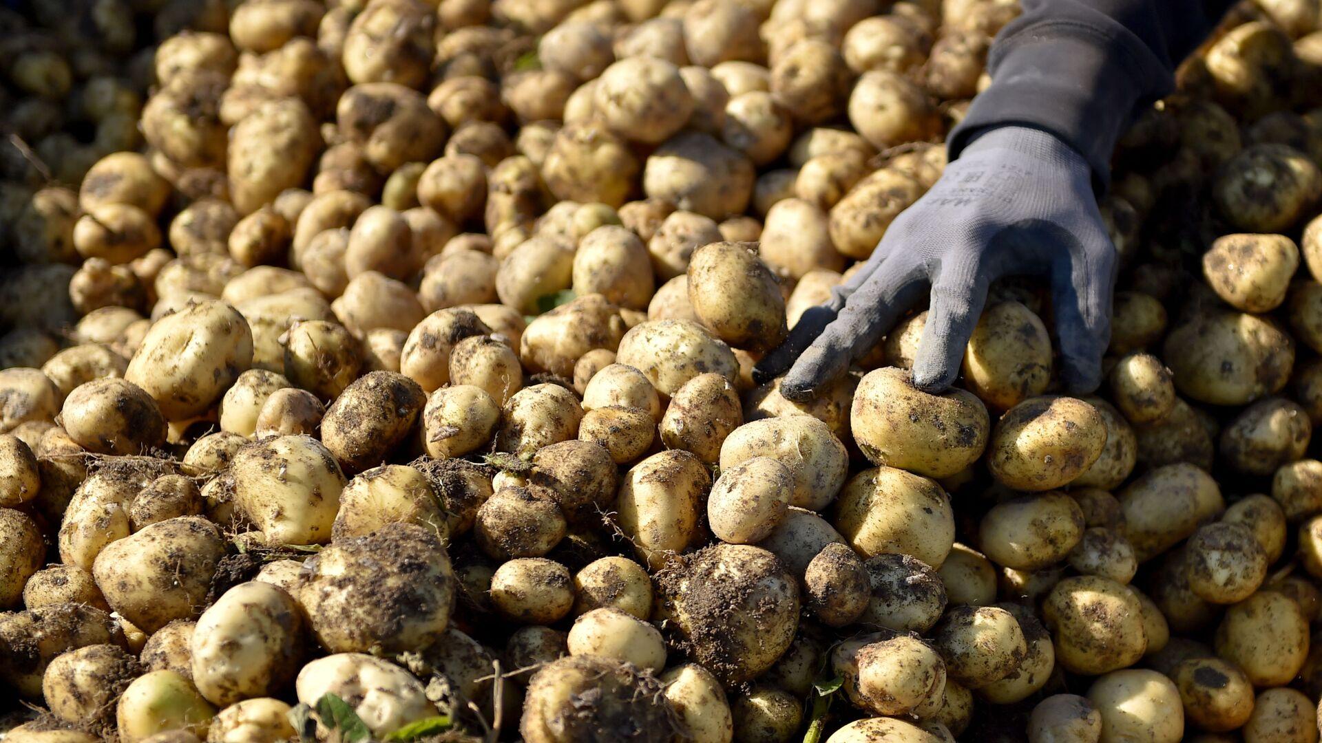 Урожай картофеля, фото из архива - Sputnik Azərbaycan, 1920, 21.09.2021