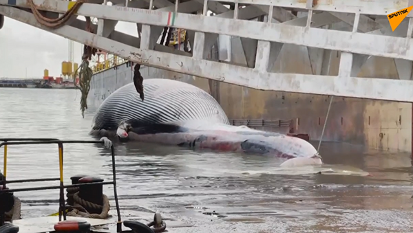 Тушу огромного кита обнаружили у берегов Италии - Sputnik Azərbaycan