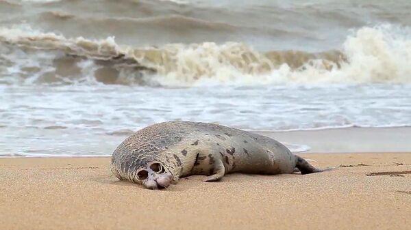 Тело мертвого каспийского тюленя на берегу Каспийского моря, фото из архива - Sputnik Azərbaycan