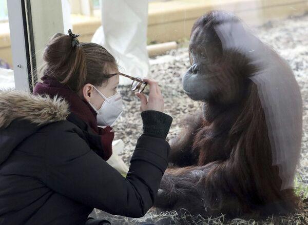 Посетительница в маске наблюдает за орангутангом в вольере зоопарка Шенбрунн в Вене, Австрия - Sputnik Азербайджан