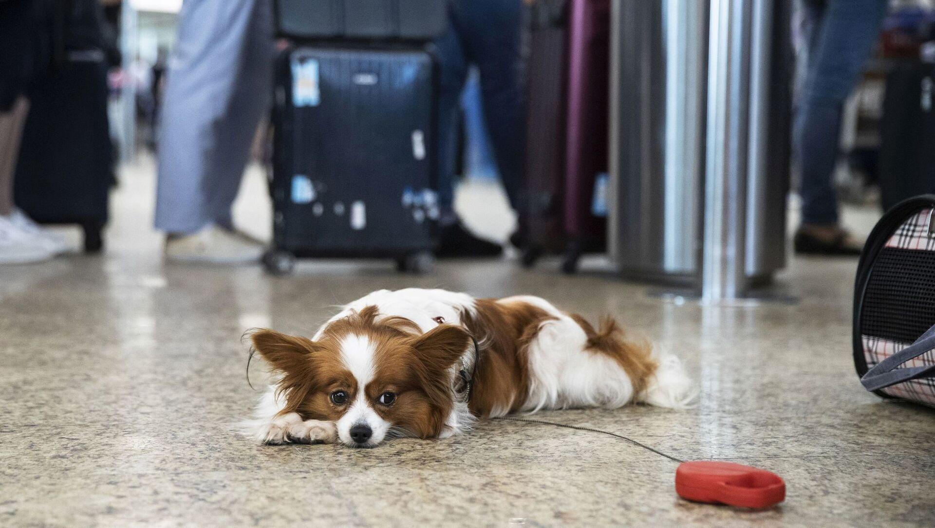 Собака в аэропорту, фото из архива - Sputnik Азербайджан, 1920, 15.02.2021