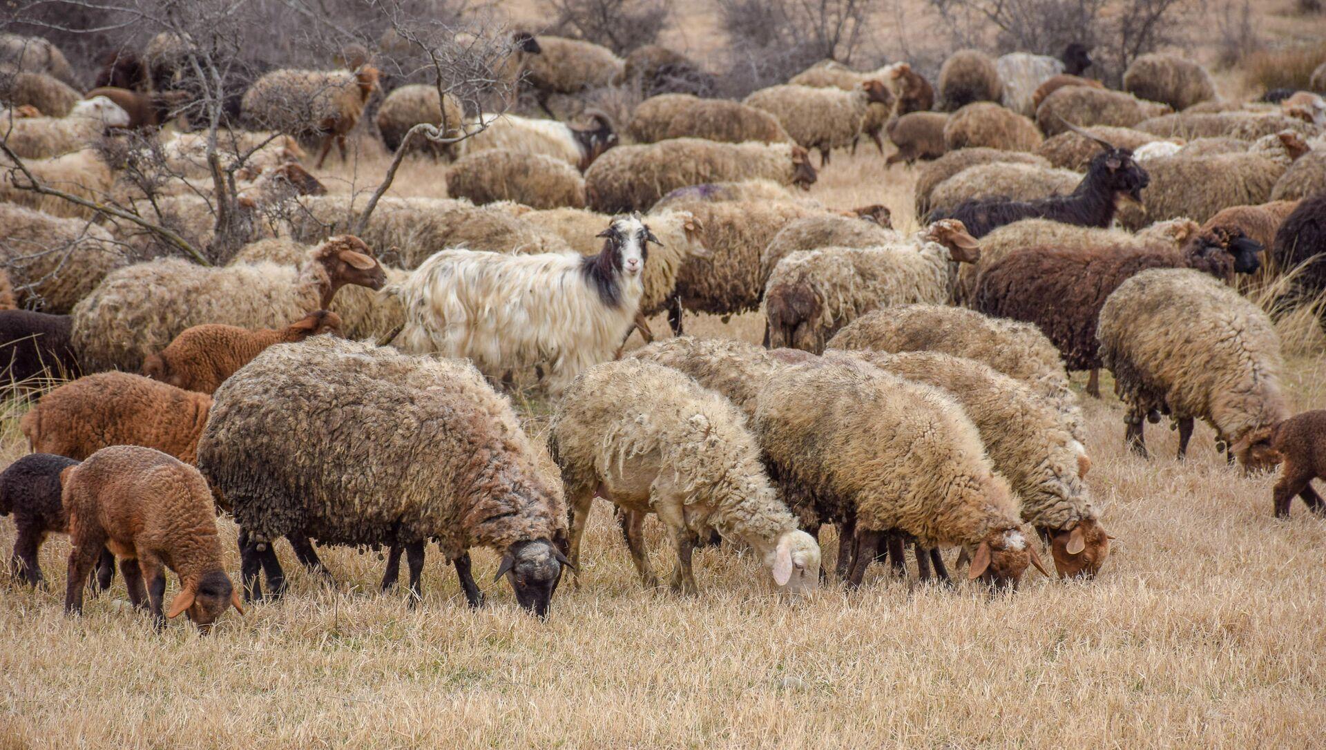 Ceyrançöl düzündə yaşayan çobanlar - Sputnik Азербайджан, 1920, 17.09.2021