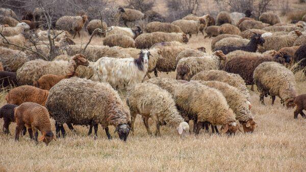 Ceyrançöl düzündə yaşayan çobanlar - Sputnik Azərbaycan
