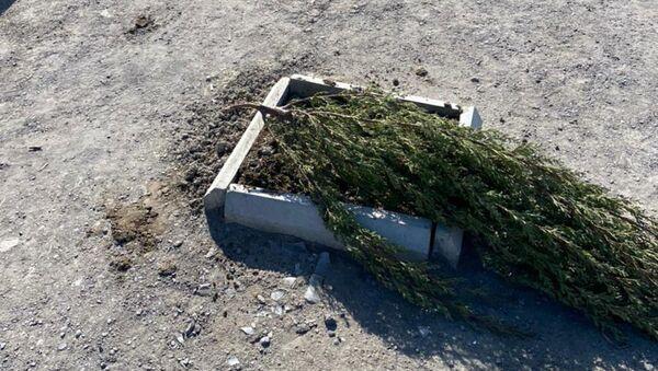 Дерево, уничтоженное вблизи проспекта Зии Буньятова в Баку - Sputnik Азербайджан