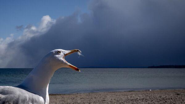 Чайка на берегу Балтийского моря в Германии - Sputnik Азербайджан