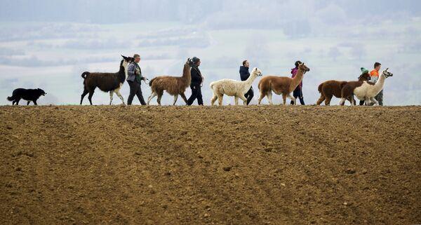 Семья Блохинг гуляет со своими ламами, альпаками и собакой Могли по проселочной дороге в Вальдхаузене, Германия - Sputnik Азербайджан