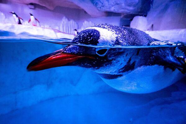 Пингвин плавает в своем вольере в аквариуме Sea Life Bangkok Ocean World в Бангкоке - Sputnik Азербайджан