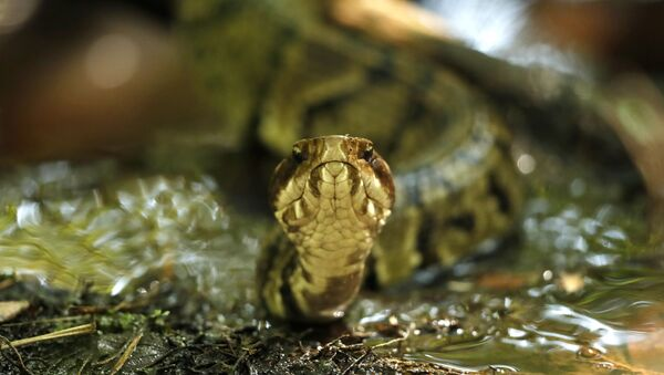 Змея, фото из архива - Sputnik Азербайджан
