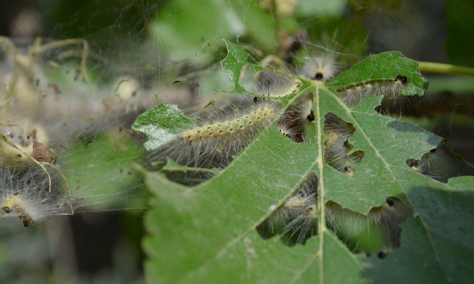 Опасный вредитель: покрывает паутиной ветви, уничтожает треть урожая - Sputnik Азербайджан, 1920, 27.06.2021