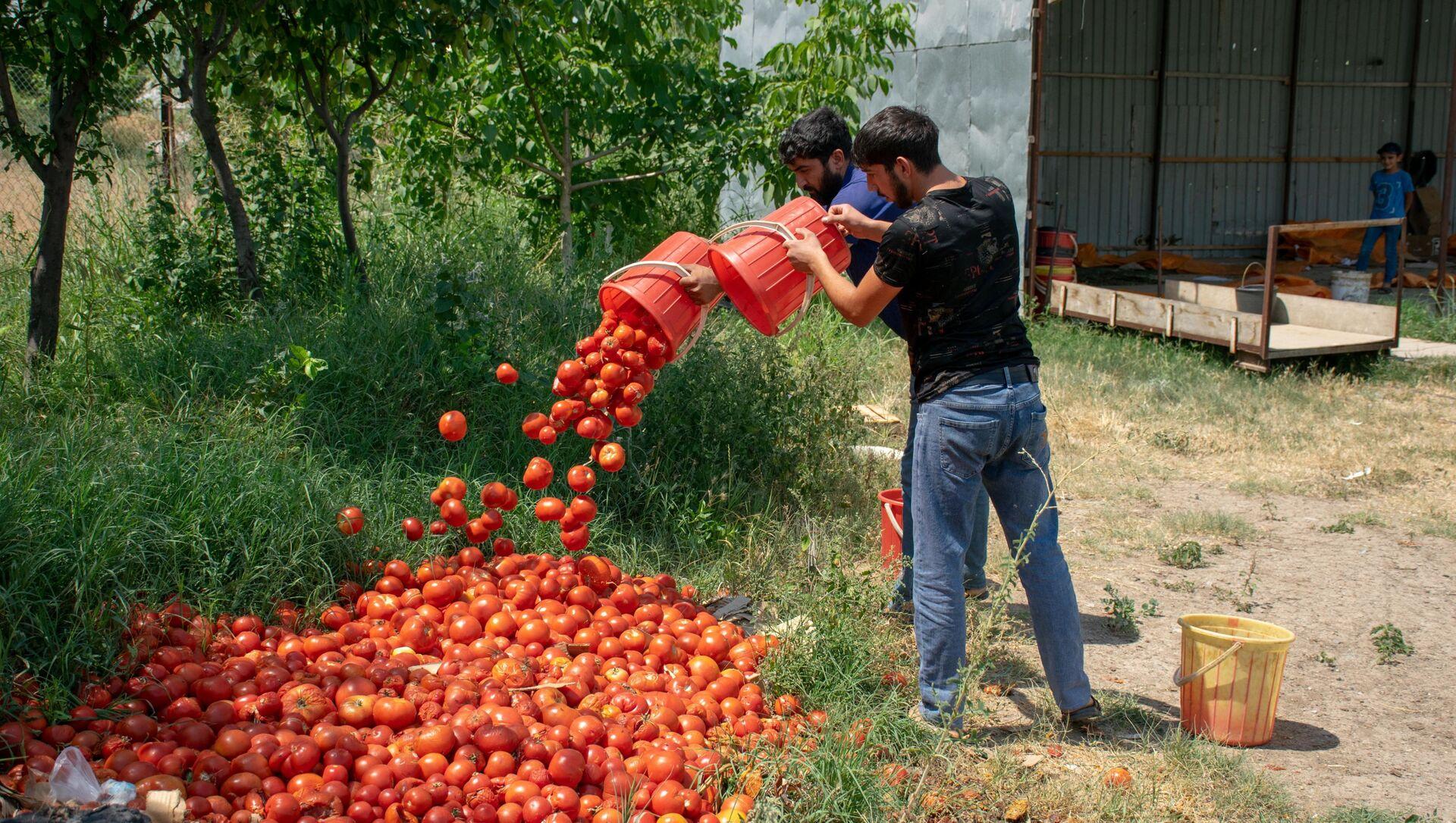 Şəmkirdə zibilliyə atılmış pomidorlar - Sputnik Азербайджан, 1920, 06.07.2021