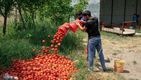 Şəmkirdə zibilliyə atılmış pomidorlar - Sputnik Azərbaycan