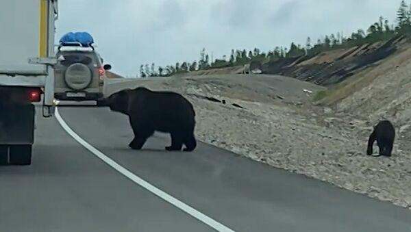 В Якутии медведица с медвежатами выпрашивают еду у водителей - Sputnik Азербайджан