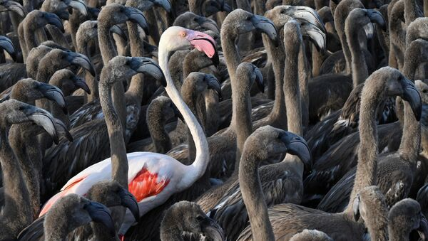 Розовый фламинго стоит среди птенцов - Sputnik Азербайджан