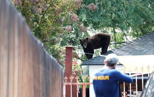 Офицер Калифорнийского департамента рыбы и дикой природы готовится усыпить медведя в Пасадене, США. - Sputnik Азербайджан