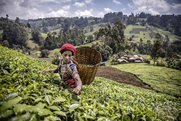 Кенийская женщина собирает чайные листья на плантации в округе Матиоя, Муранга - Sputnik Азербайджан