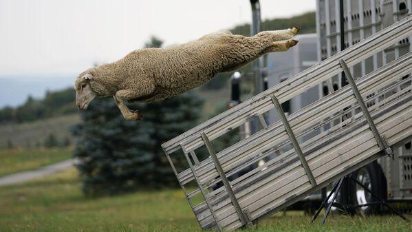"""ABŞ-da hər il keçirilən """"Soldier Hollow Classic Sheepdog Championship"""" çempionatında qoyun yük maşınından tullanır. - Sputnik Azərbaycan"""