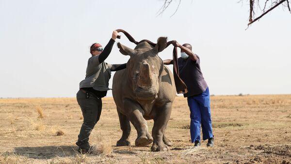 Сотрудники заповедника завязывают глаза носорогу перед операцией по спиливанию рога - Sputnik Azərbaycan