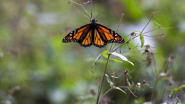 Бабочка, фото из архива - Sputnik Азербайджан